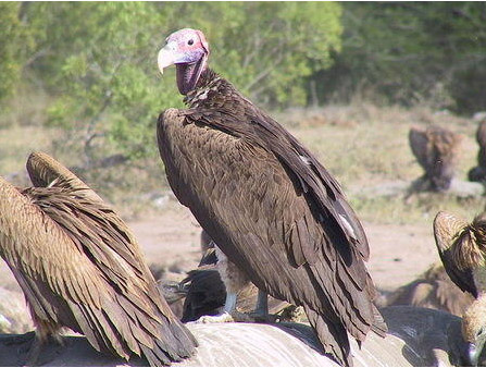 Lappet faced vulture courtesy of Sanparks.org