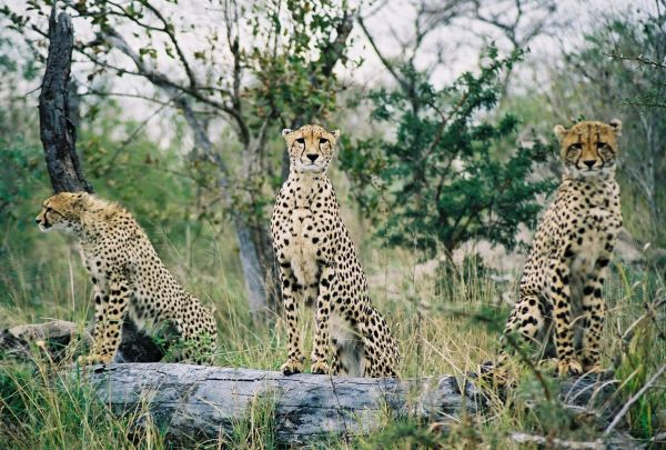 Cheetahs in Sabi Sand Game Reserve South Africa