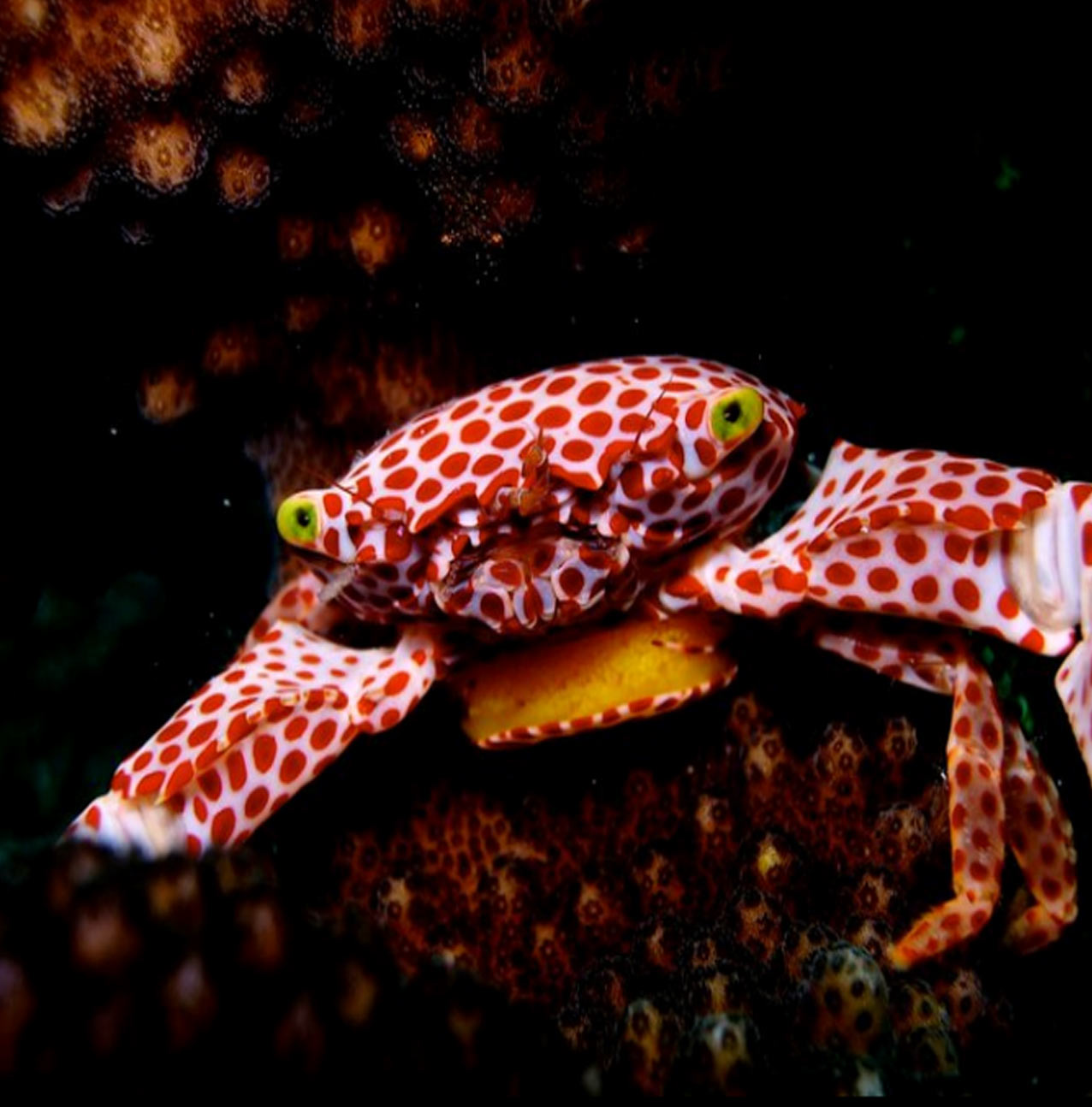 Red Spotted Crab - photo attribution to Watamu Marine Conservation