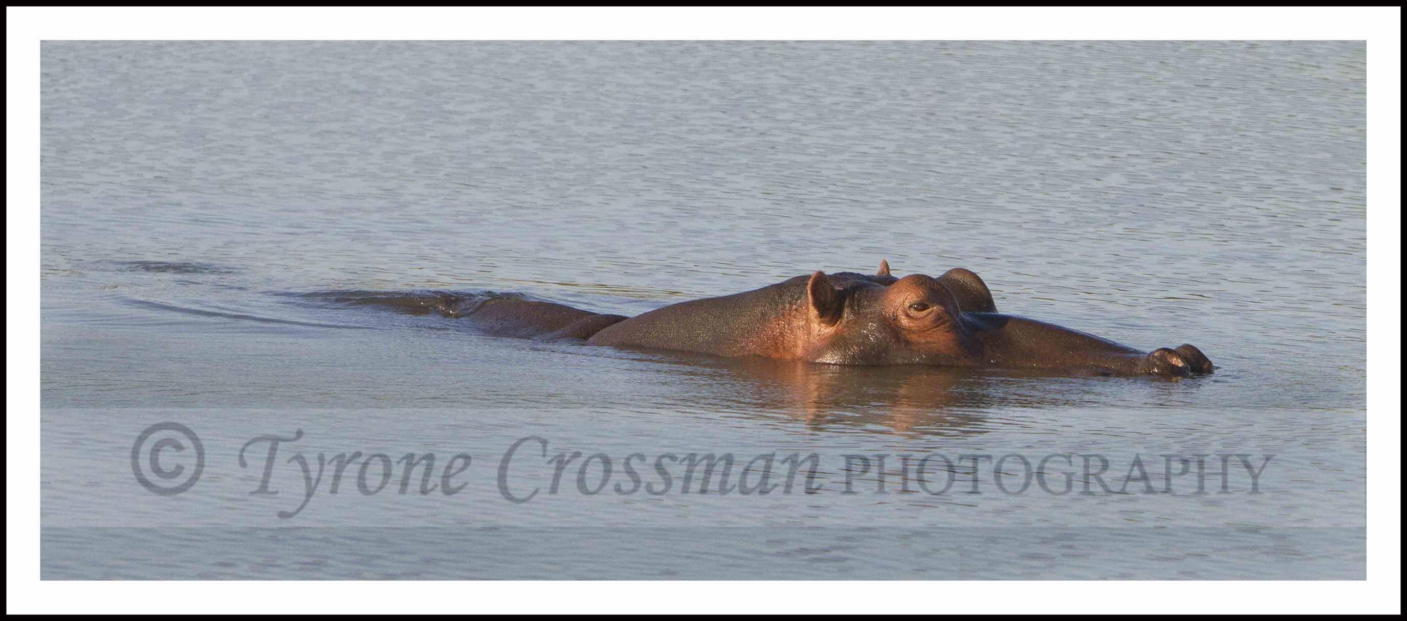 Hippo bathing at Springbok Lodge, outside Ladysmith, Kwa Zulu Natal.