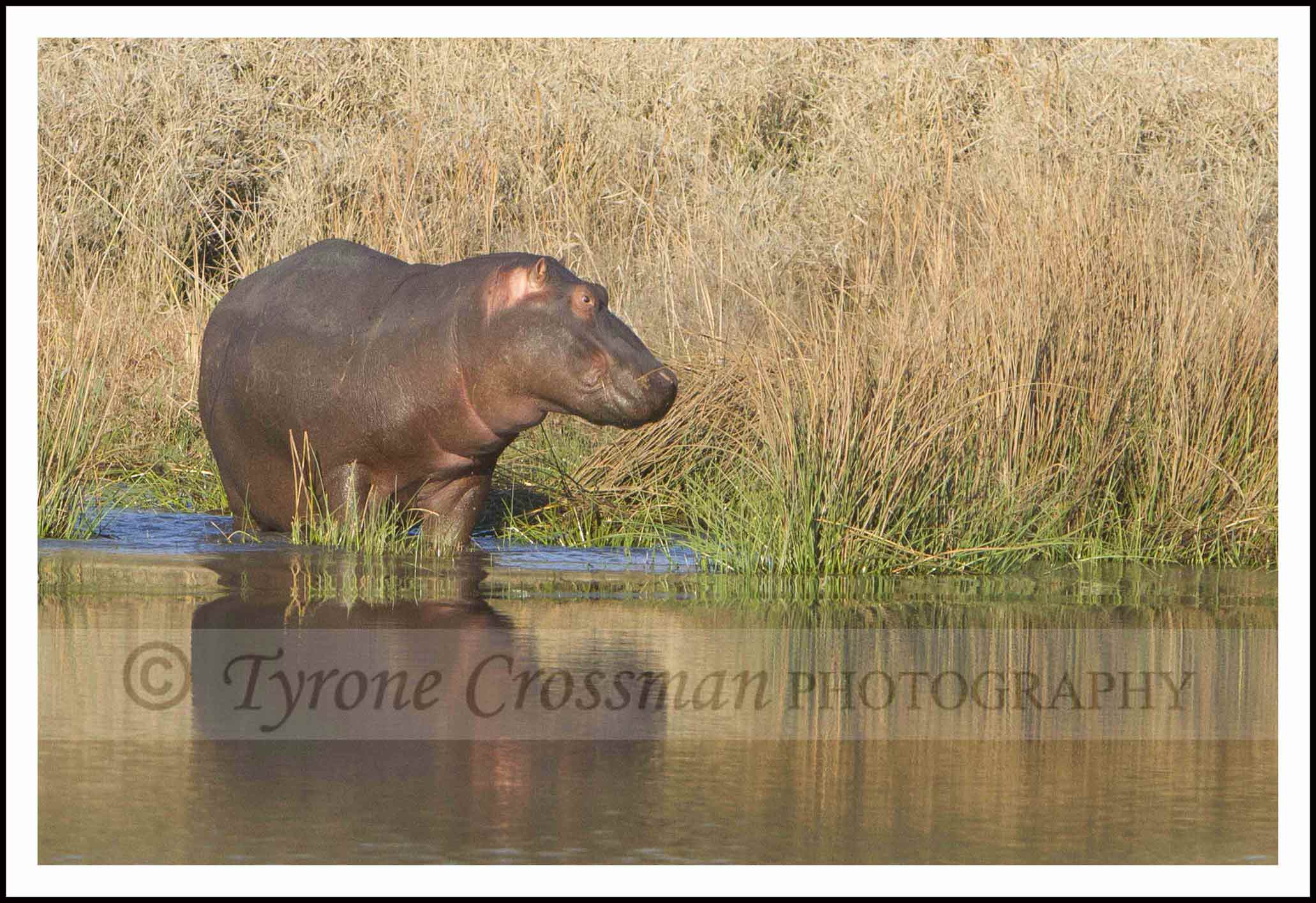 The Same Hippo before it got into the water. Same camera and settings.