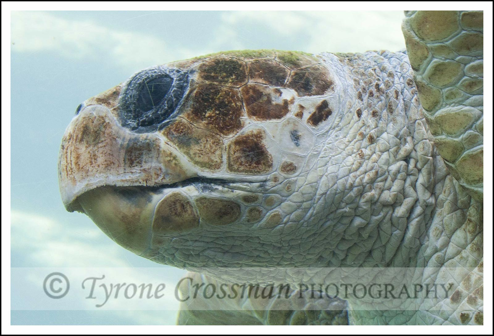 Loggerhead Sea Turtle at Ushaka Marine World, Durban South Africa. Photograph attribution to Tyrone Crossman Photography