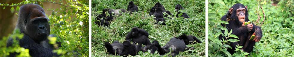 Gorillas and Chimpanzees in the Forests of Uganda