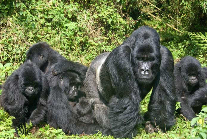 A family of Mountain Gorillas in Uganda