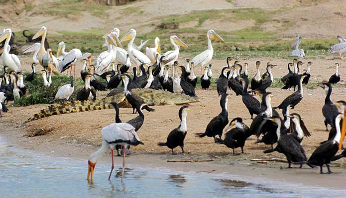 Open-water birds, Uganda