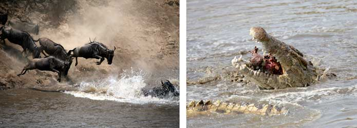 Mara River wildebeest crossing