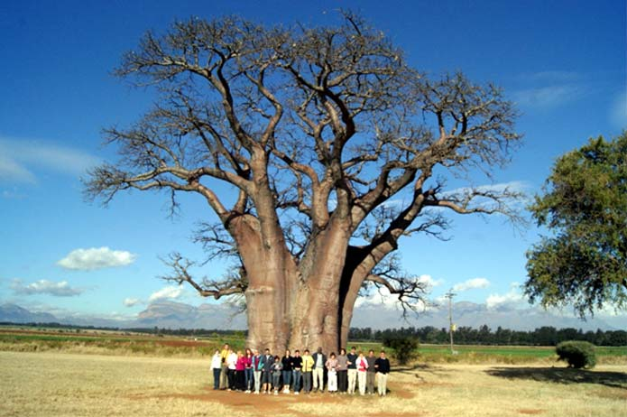 Baobab tree in Mpumalanga Province, South Africa