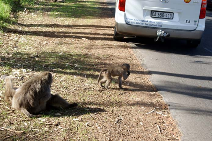Cape Baboons
