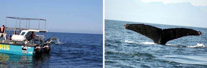 Whale Watching - Garden Route