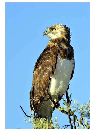 Martial Eagle photographed at Kgalagadi Transfrontier Park