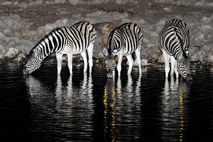 Zebra drinking at a waterhole in Etosha National Park