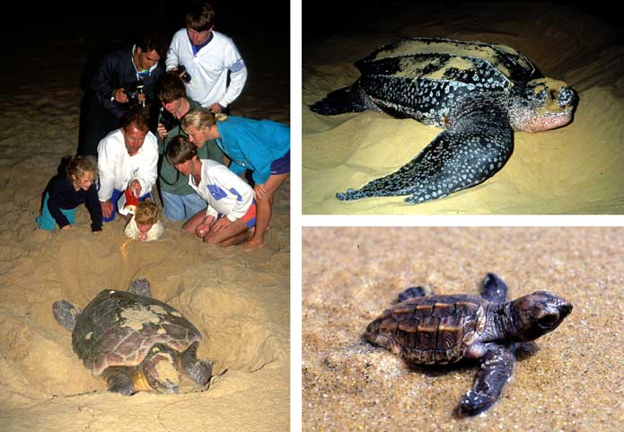 Loggerhead and Leatherback turtles