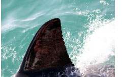 Dorsal fin of a Great While Shark