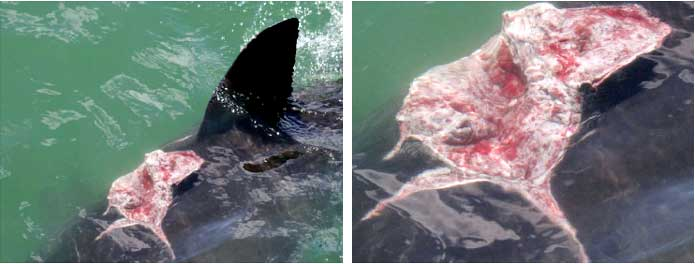 White Shark named 'Gash' - showing wound